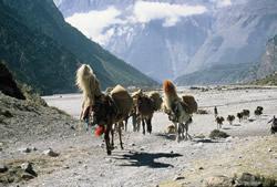 karavana u dolini Kali Gandaki